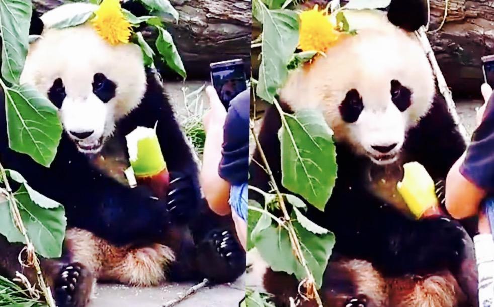 壁纸 大熊猫 动漫 动物 卡通 漫画 头像 982_611