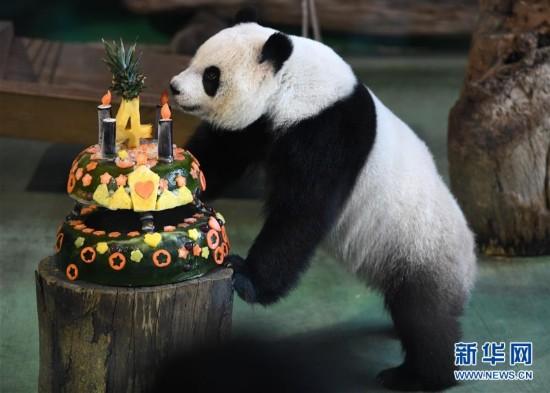 """大熊猫""""圆仔""""迎来4岁生日"""