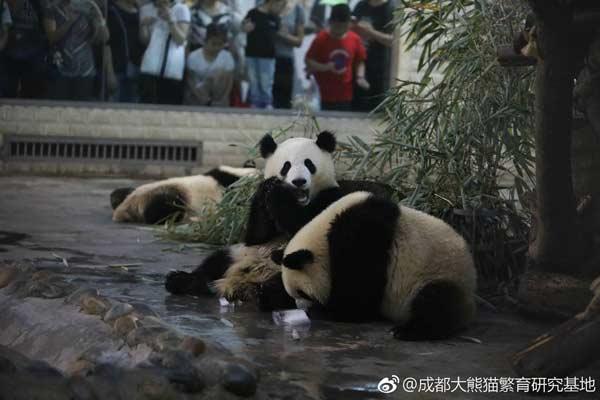 """""""萌兰""""与它的小伙伴们分享了熊猫厨房精心制作的冰蛋糕"""