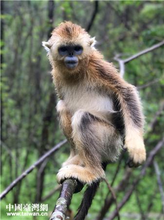 蓝面仰鼻、身背金色长毛的森林精灵——神农架川金丝猴。(中国台湾网发)