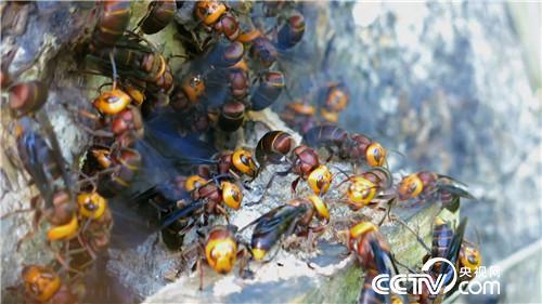 致富经:杀人蜂带来的千万财富(20170710)