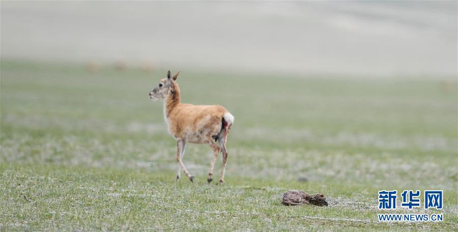 Saison des naissances pour les antilopes tibétaines
