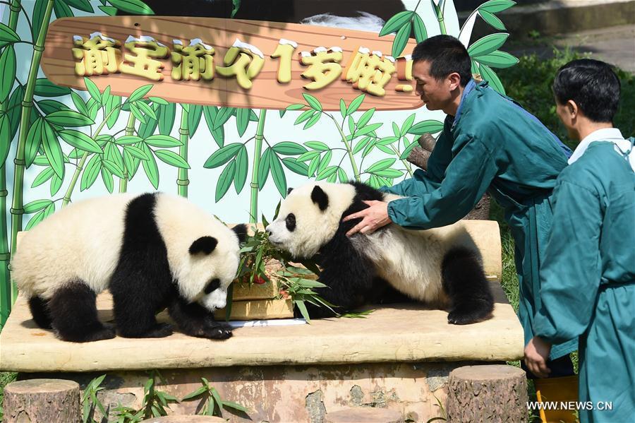 Des pandas jumeaux célèbrent leur premier anniversaire au Zoo de Chongqing