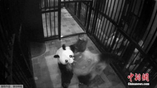 """当地时间2017年6月12日,东京上野动物园的雌性大熊猫""""真真""""产下一只幼崽。上野动物园大熊猫产子是5年来第一次,上次得追溯到2012年。"""