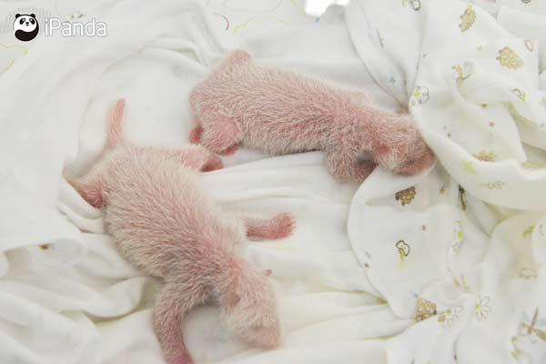 龙凤胎熊猫宝宝在育幼箱