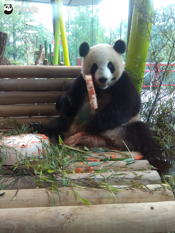 """大熊猫""""梦梦""""享用生日蛋糕"""