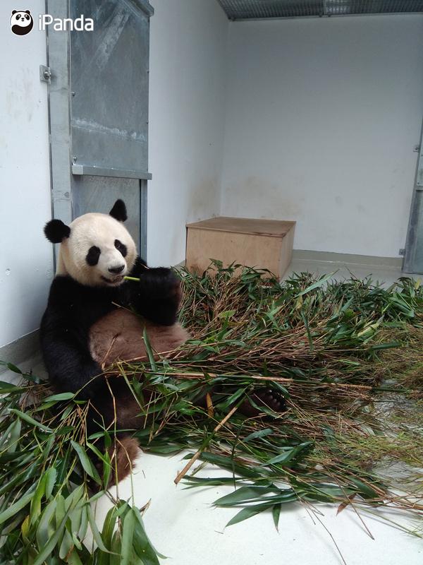 """大熊猫""""娇庆"""""""