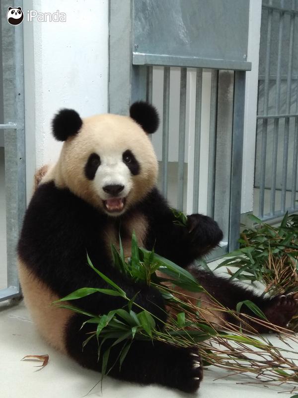 """大熊猫""""梦梦"""""""