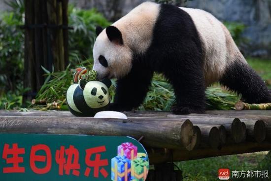 """大熊猫""""圆舟""""迎来了7周岁生日"""