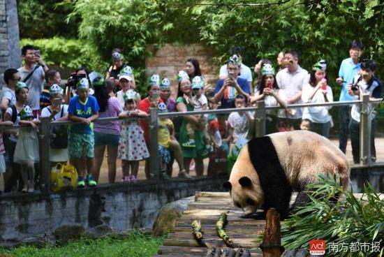 """大熊猫""""圆舟""""和热情的粉丝们"""