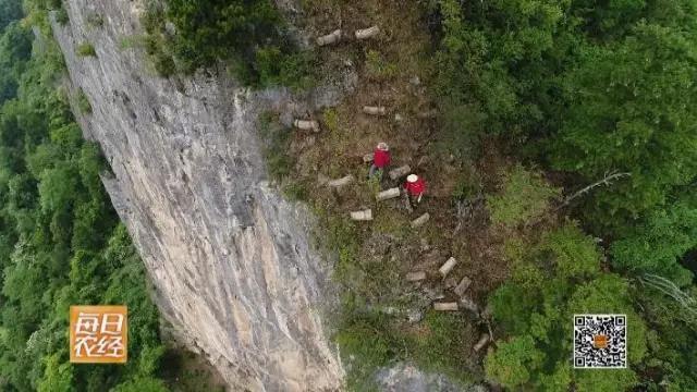 悬崖峭壁之上 甜蜜与危险并存