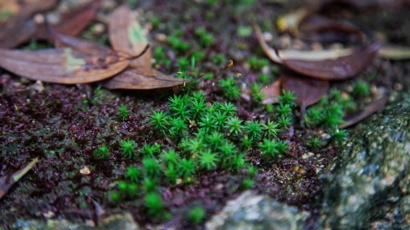 雨后新芽(图片来源于黄山风景区)