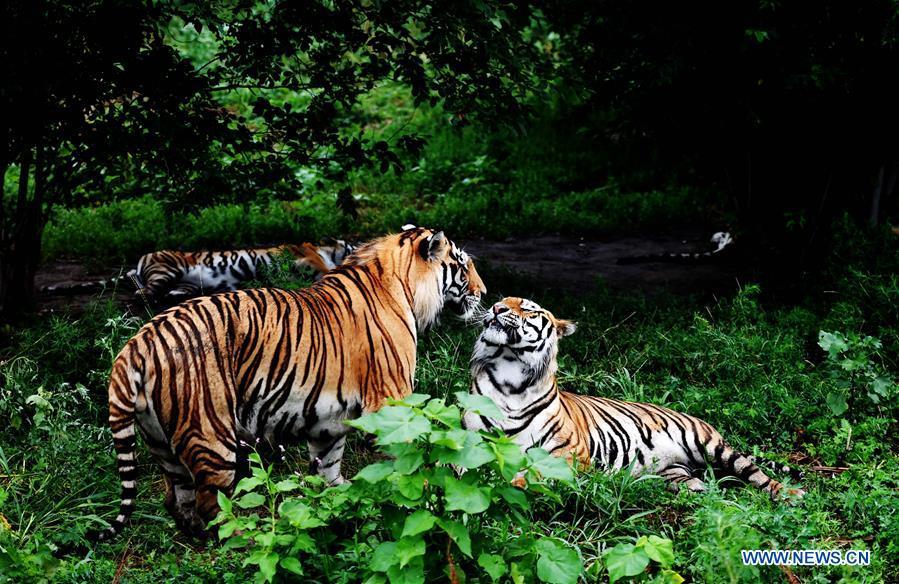 Chine : plus de 70 tigres de Sibérie nés cette année dans un centre d