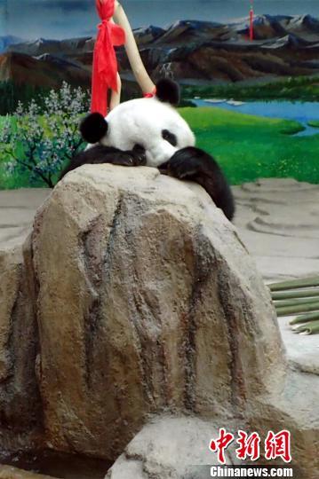 大熊猫趴在假山石上休息