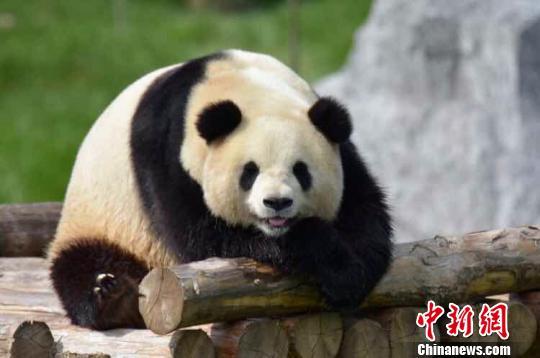大熊猫在栖息架上纳凉