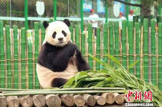 大熊猫在栖息架上吃竹子