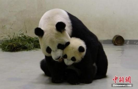 大陆赠台大熊猫圆圆则忙着用脸搓搓圆仔的小脸,母女抱在一起,其乐融融。