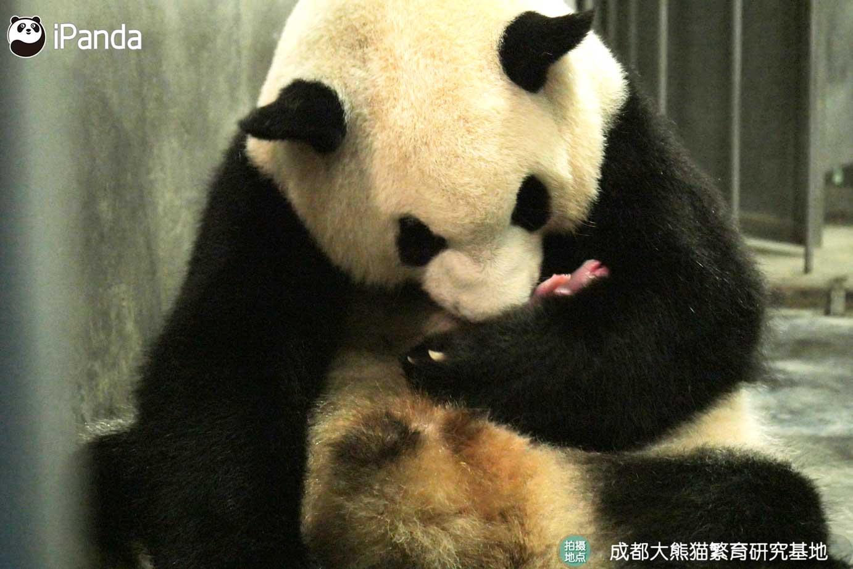 """大熊猫""""二巧"""""""