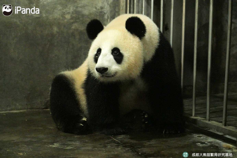 """大熊猫""""小丫头"""""""