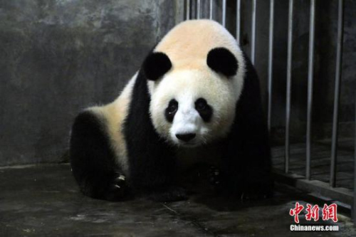 """大熊猫""""欢欢"""""""