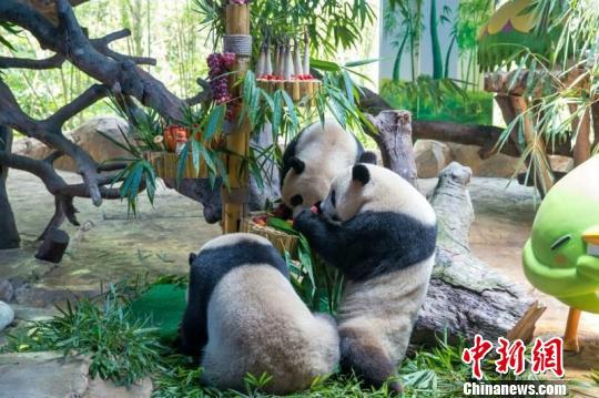 """全球唯一大熊猫三胞胎""""萌、帅、酷""""满3周岁,广州长隆野生动物世界29日举办了有5000人参加的盛大庆生派对。(王华 摄)"""