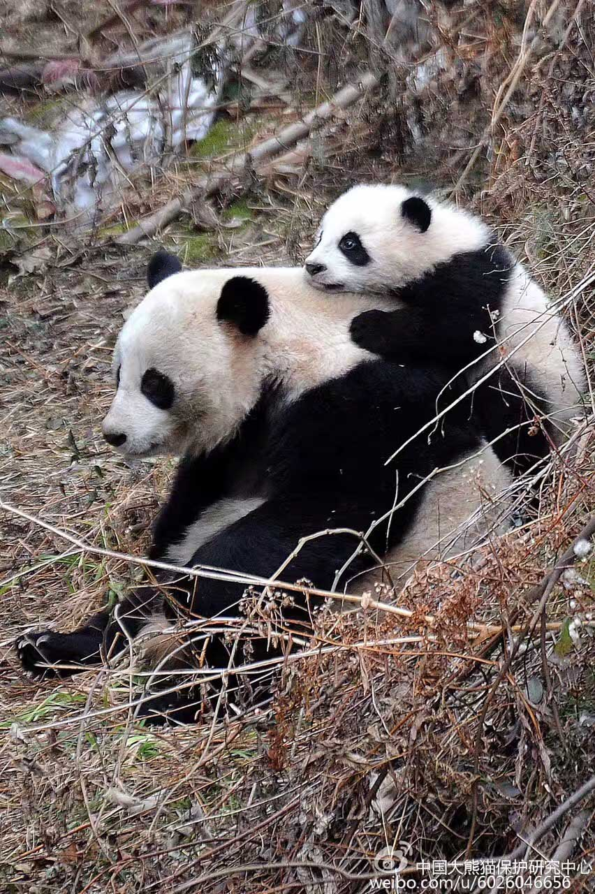 """大熊猫""""草草""""资料图"""