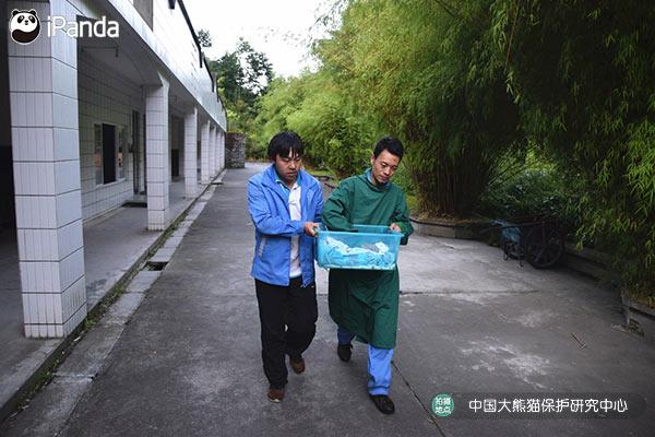 """工作人员将""""草草""""仔转移至育幼室准备检查其身体状况"""