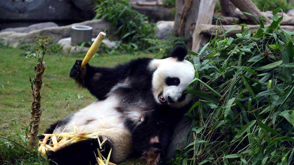 """大熊猫""""盈盈"""""""