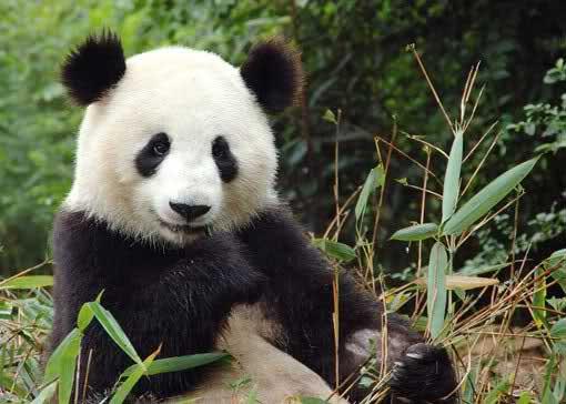 """大熊猫""""安安"""""""