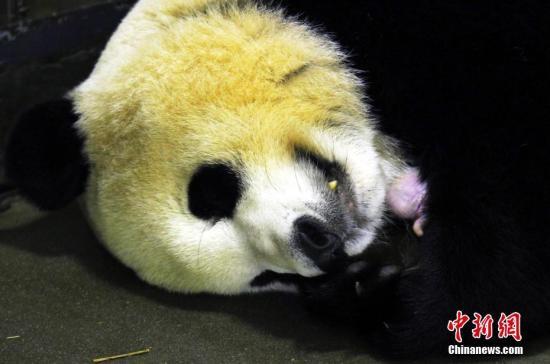 资料图:刚刚产仔的大熊猫