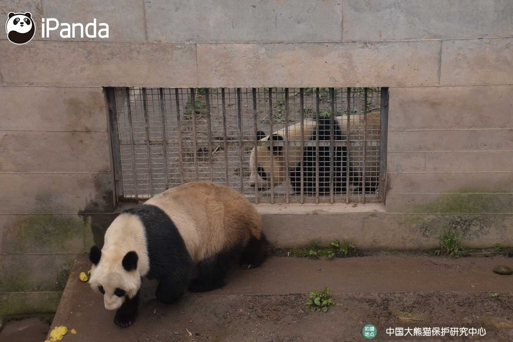 今年4月,海子在中国大熊猫保护研究中心雅安基地顺利完成自然交配