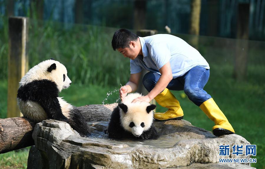 尹彦强在给大熊猫洗澡防暑