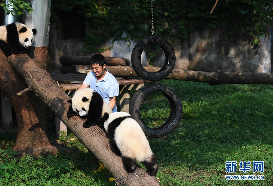 """尹彦强在引导大熊猫们进行""""晨练"""""""