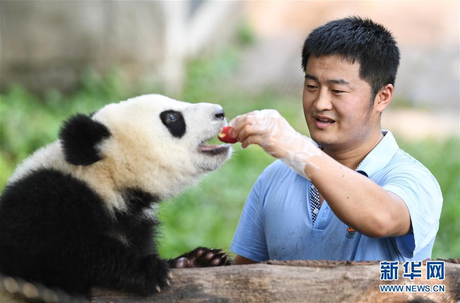 尹彦强给一只大熊猫喂苹果