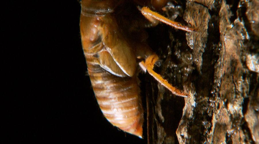 金蝉含有丰富的蛋白质、氨基酸和微量元素,它既是一种食用的昆虫,又是一种药用的昆虫,是难得的天然无公害高级营养食品。
