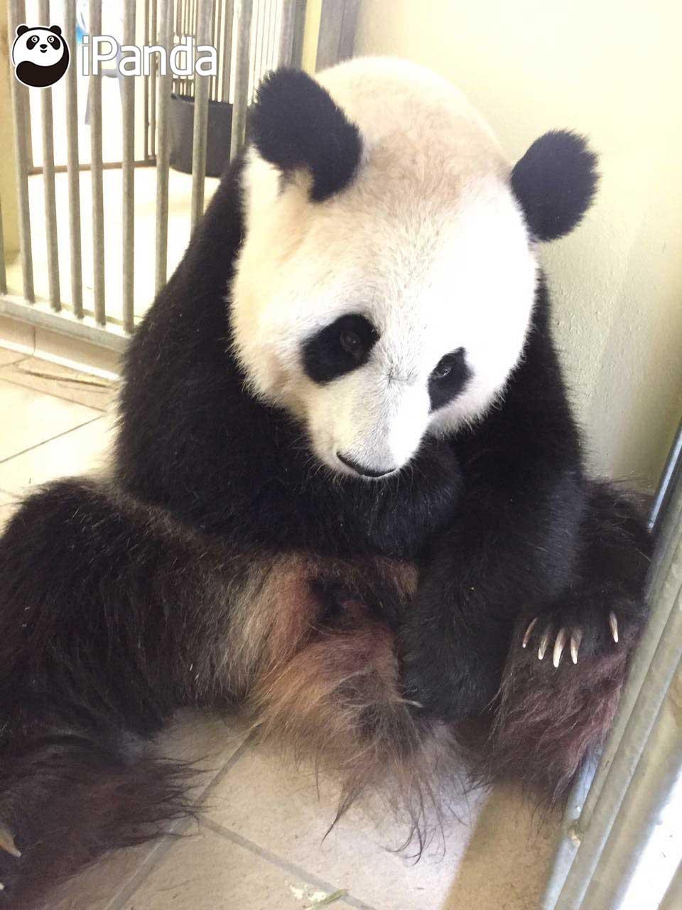 """大熊猫""""欢欢""""带仔"""