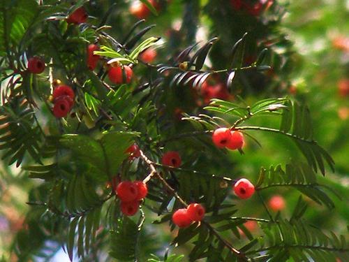 红豆杉的果子