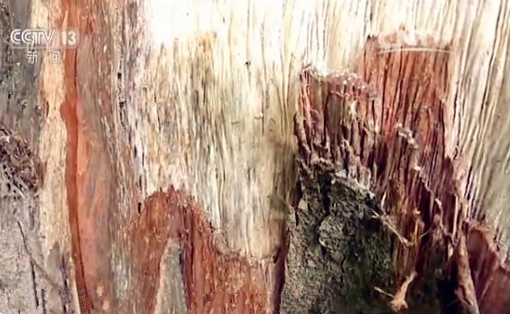 被剥皮的红豆杉