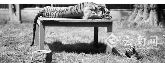 昆明动物园老虎身亡事件追踪:咬死同伴后 凶手关禁闭