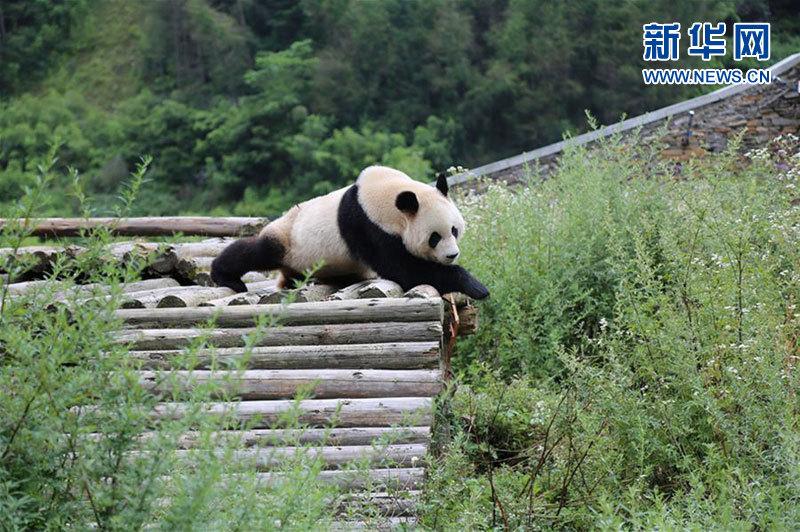 8月11日,一只成年大熊猫在卧龙中国大熊猫保护研究中心神树坪基地内玩耍。新华社发(杨进 摄)