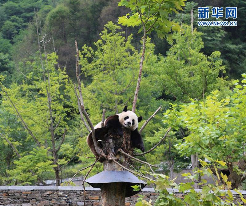 8月11日,一只成年大熊猫在卧龙中国大熊猫保护研究中心神树坪基地的树上玩耍。(新华社记者吴光于摄)