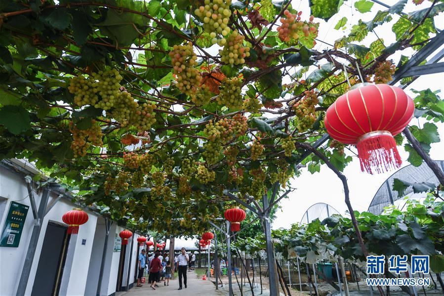 8月17日,东洲街道陆家浦村的天府葡萄合作社内,游客在采摘葡萄。该合作社占地300多亩,以采摘体验、亲子游为特色旅游方式。 新华社记者 徐昱 摄
