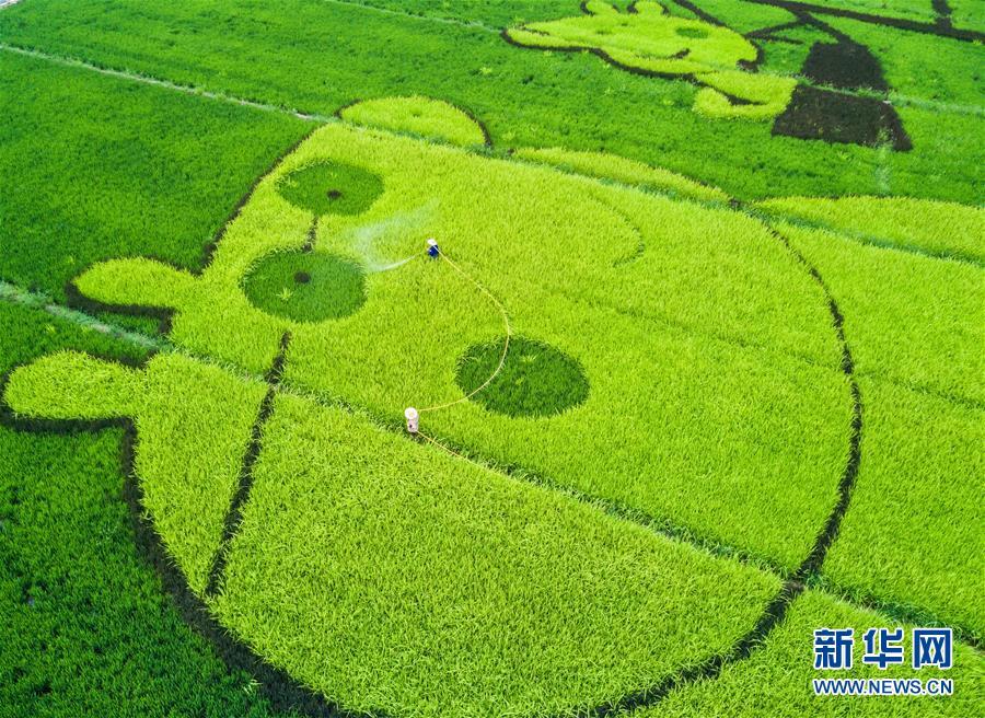 8月17日,东洲街道红旗村的农民在给彩色创意水稻浇水。 新华社记者 徐昱 摄
