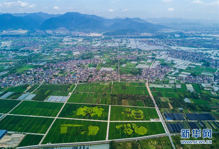 8月17日,空中俯瞰东洲街道红旗村的300亩彩色创意水稻。
