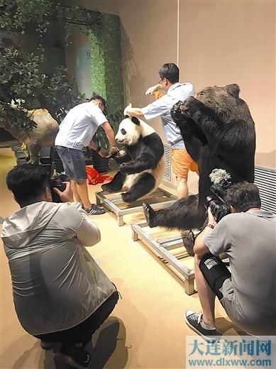 生命奥秘博物馆凭借国际领先的生物塑化技术,获得国家相关权威部门批准,承接了全球首只大熊猫塑化标本的制作。