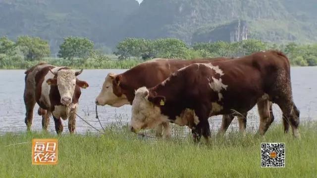 水的那边有一群山水牛