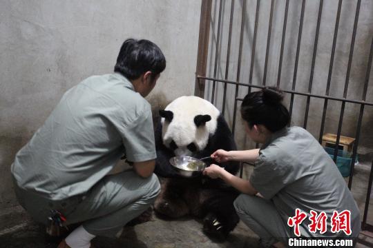 图为大熊猫得到精心照顾(陕西林业厅供图)