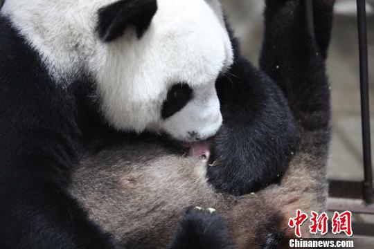 """陕西大熊猫家族添""""新丁""""。(陕西林业厅供图)"""