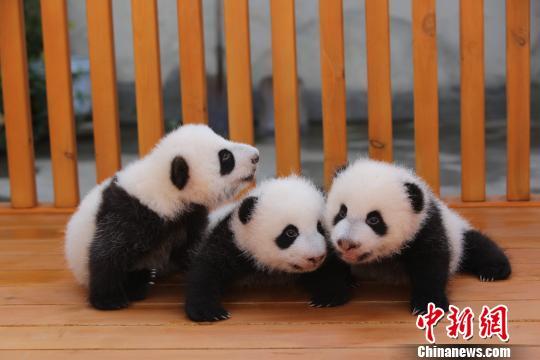 """大熊猫""""阳阳""""、""""爱浜""""6月产下的三只幼仔体况健康(陕西林业厅供图)"""