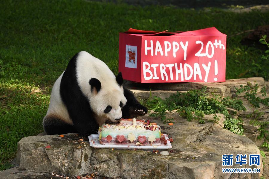 """8月27日,在华盛顿的美国国家动物园,大熊猫""""添添""""享用生日蛋糕。(新华社记者 殷博古摄)"""